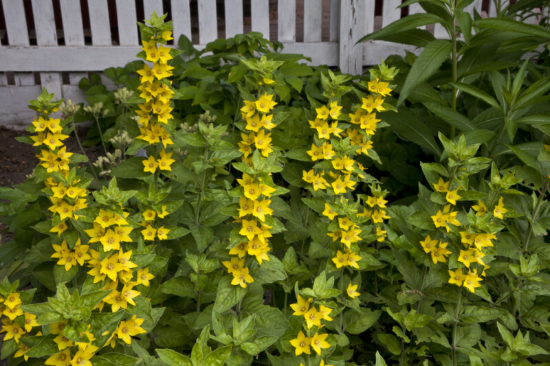 Whorled Loosestrife with Erect Stems Bearing Yellow Flowers