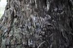 Whorled Tree Bark