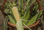 Wicker Basket full of Corn
