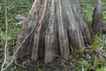 Wide Base of Swamp Cypress Tree