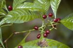 Wild Coffee Berries