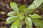 Wild Coffee Leaves