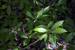 Wild Coffee Plant at Windley Key Fossil Reef Geological State Park