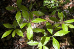 Wild Coffee Plants with Glossy Green Leaves