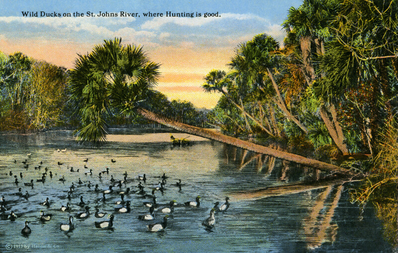 Wild Ducks on the St. Johns River