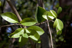 Wild Lime Leaves
