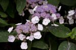 Wild Peony Flowers