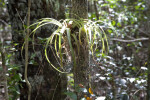Wild Pine at Mahogany Hammock of Everglades National Park