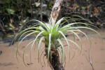 Wild Pine on Tree