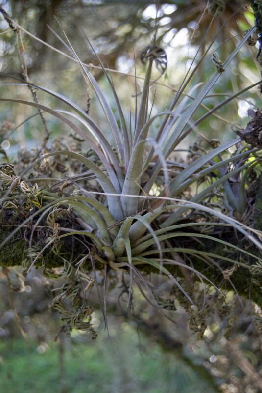 Wild Pine