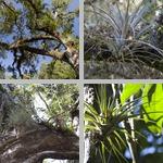 Wild Pine/Quill-Leaf photographs