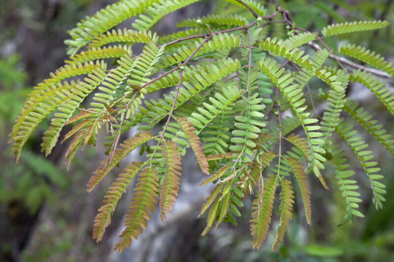 Wild Tamarind Leaves and Branches