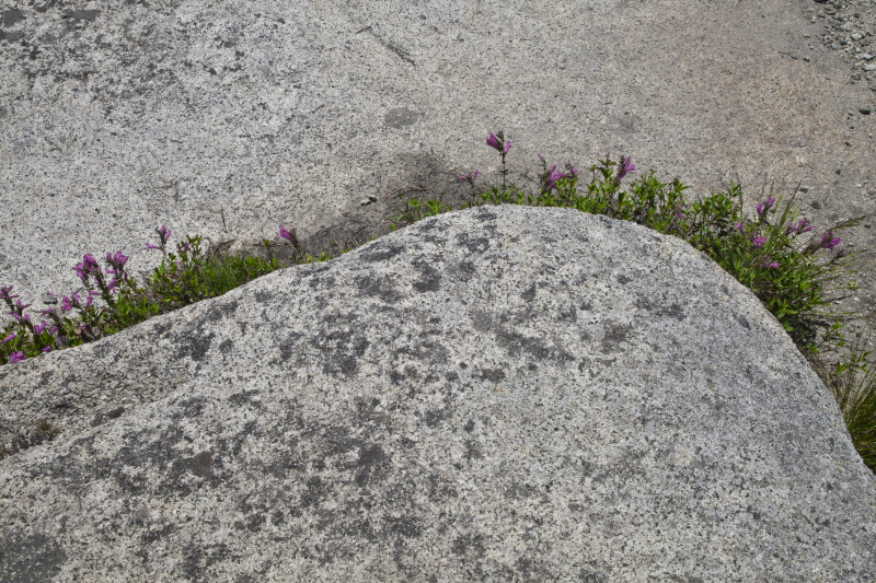 Wildflowers Growing around the Base of a Boulder
