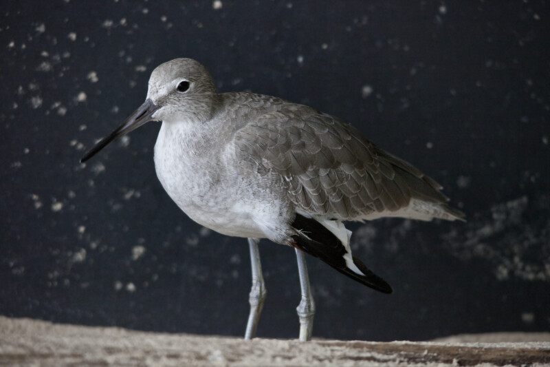 Willet at The Florida Aquarium