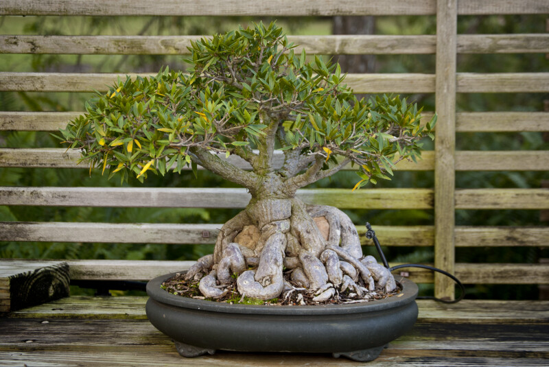 Willow Leaf Ficus in a Black Oval Container