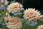 """Willowfield Mick"" Dahlia"
