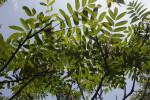Wilson Mountain-Ash Tree Branches