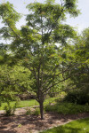 Wilson Mountain-Ash Tree