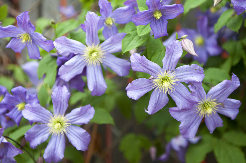 Wilting, Light-Purple Clematis Flowers