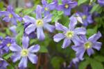 Wilting, Light-Purple Clematis Flowers