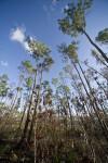 Wilting Plant and Slash Pines