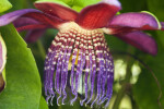 Winged-Stemmed Passion Flower