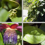Winged-Stemmed Passion Flowers photographs