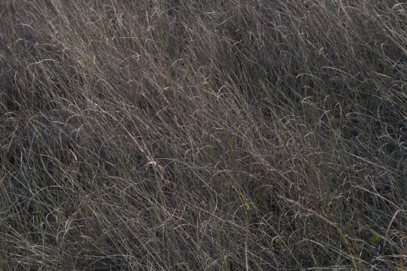 Wiry Grass Blowing in the Wind