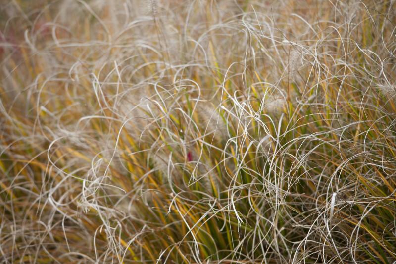 Wiry Grass