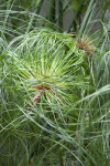 Wiry Papyrus Plant Leaves