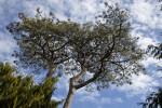 Wiry Pine Tree