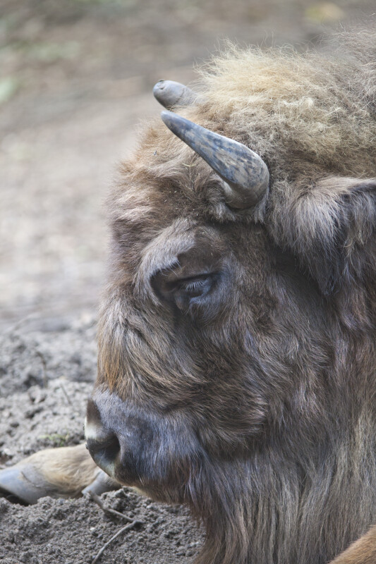 Wisent Close-Up