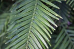 Wollemi Pine Leaves
