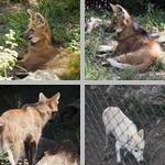 Wolves photographs