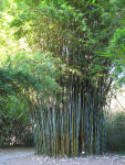 Wong Chuk Bamboo