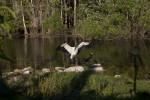 Wood Stork Displaying its White and Black Feathers