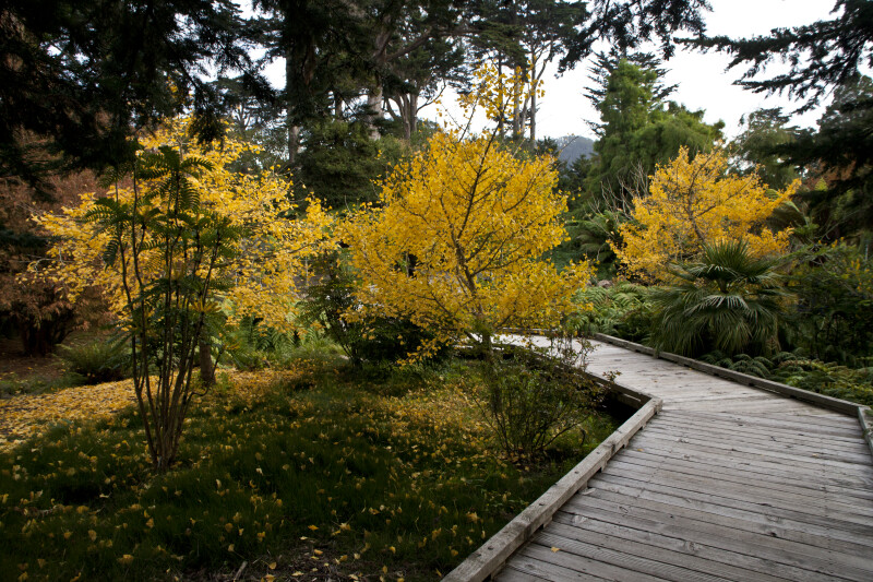 Wooden Boardwalk at the San Francisco Botanical Garden