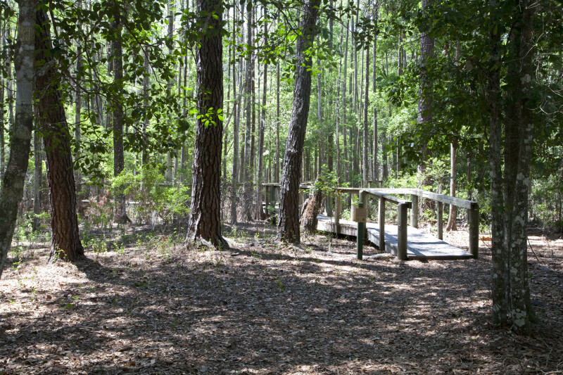 Wooden Boardwalk Leading Into a Forest of Cypress Trees