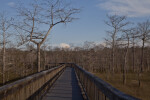 Wooden Boardwalk Surrounded by Bare Dwarf Bald Cypress Trees