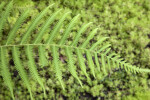 Woods Fern Branch at the Kanapaha Botanical Gardens