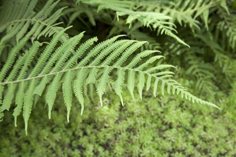 Woods Fern Branch