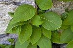 Woodvamp Vine Growing up a Wall at the Arnold Arboretum of Harvard University