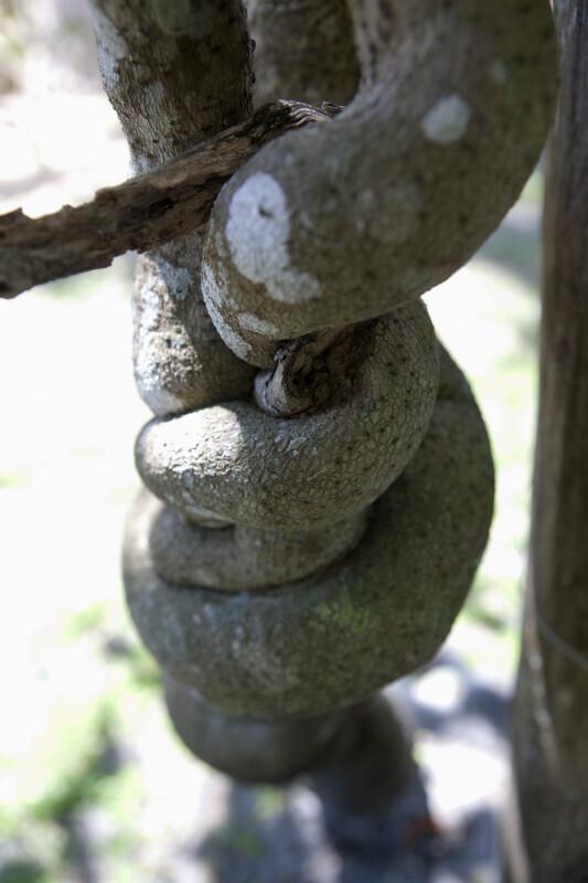 Woody Vine (Chonemorpha fragrans)