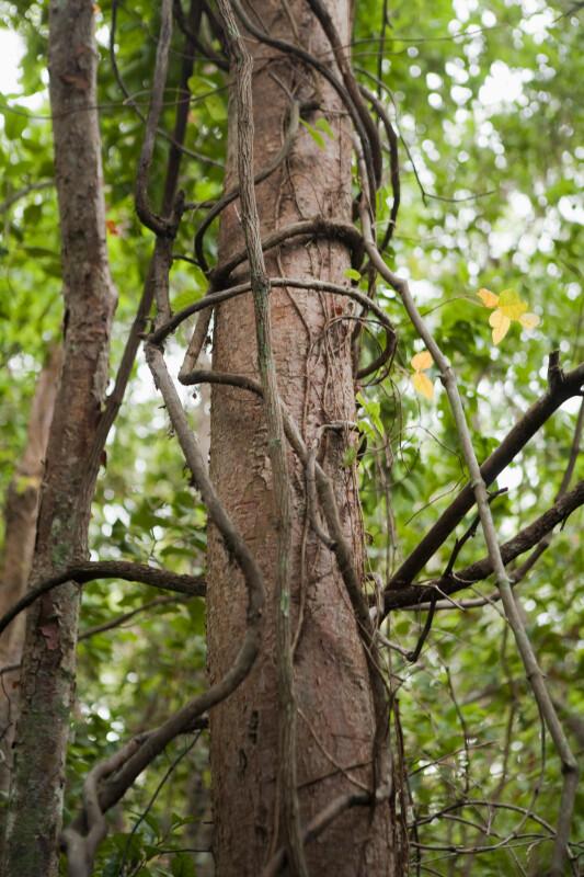 Woody Vines Growing Around Trunk of Gumbo-Limbo Tree