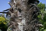 Woven Fiber Trunk of a Trithrinax Palm