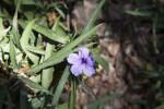 Wrinkled, Purple Flower