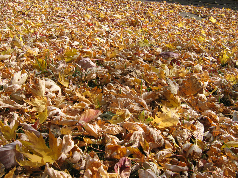 Yard Filled with Fallen Yellow Leaves