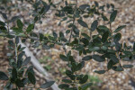 Yaupon Holly Branches and Leaves
