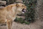Yawning Female Lion