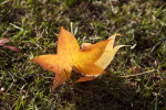 Yellow American Sweetgum Leaf